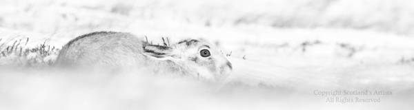 Hare of Snow